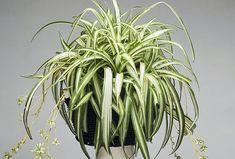 Csak heti pár perc gondozás kell és ez az 5 szobanövényed ismét gyönyörű lesz! - Blikk Rúzs Vigan, Herbs, Plants, Gardening, Lawn And Garden, Herb, Plant, Planets, Horticulture