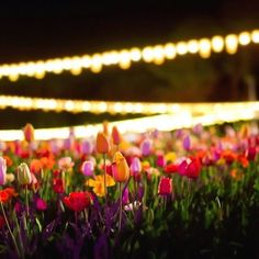 Floriade NightFest continues to transform Commonwealth Park into an illuminated wonderland until Sunday 27 September. Nightfest offers visitors the chance to explore @floriade_australia after dark with dazzling lighting, bustling night markets and entertainment for all ages. Some incredible images were captured on the media preview night, like this spectacular photo by Instagrammer @kazuriphotography, and you can find a selection of images on our Facebook page. #visitcanberra