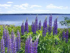 Lupin at Bayside, Northport, Maine. I love my purple lupin.