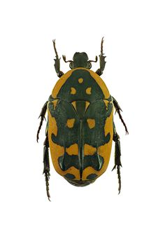 Pictorial beetle collection of the Royal Belgian Institute of Natural Sciences