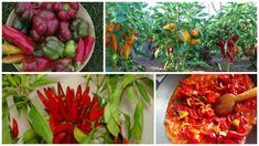 Ardeiul de toate tipurile este frecvent folosit in bucataria autohtona si foarte sanatos. Iata cum sa va ocupati de cultivarea unei gradinite de ardei. Home And Garden, Stuffed Peppers, Vegetables, Food, Gardening, Plants, Agriculture, Meal, Stuffed Pepper
