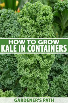 Will kale grow in containers? Yes, it's easy to grow in pots and you can enjoy. Will kale grow in