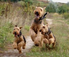 These are two Welsh Terriers and an Airedale Terrier. What an adorable picture.