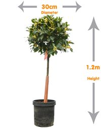 Bay Tree- This standard Bay Tree will offer a Mediterranean feel to any garden landscape