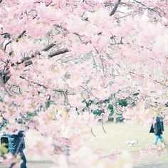 Afbeelding via We Heart It https://weheartit.com/entry/156186293/via/32289496 #cherryblossom #cute #kawaii #pink #sakura #tree