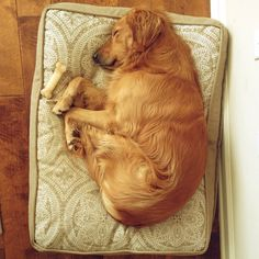 sweet sleeping Golden <3