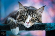Cat | Cat on a colored bokeh © Philippe LEJEANVRE. All rig… | Flickr - Photo Sharing!