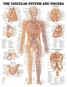 The VS System: all the blood vessels in the human body.