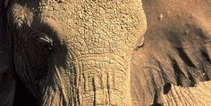 My favorite animal for this reason. Unforgettable Elephants - Elephant Emotions | Nature | PBS