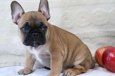 Amazing French Bulldogs | AKC French Bulldog Puppies For Sale | French Bulldog Breeder : AVAILABLE PUPPIES Teacup French Bulldogs, Buy French Bulldog, French Bulldog Breeders, Bulldog Breeds, Frenchie Puppies For Sale, Little Dogs, Dog Love, Fur Babies, Cute Dogs