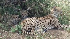 Other #cute #babies with #cheetah 's mother :) Come and #travel with Fed #Tours & #Safaris and discover the magnificent #nature of #Tanzania www.fedsafaris.com