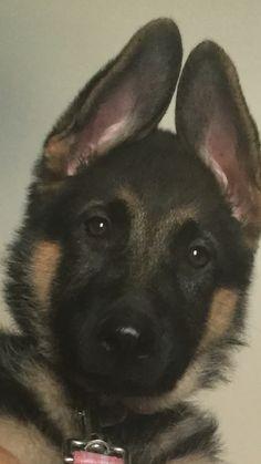 GSD Puppy-Kylie