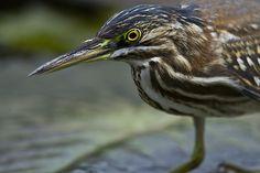 Foto socozinho (Butorides striata) por Marcos Paiva | Wiki Aves - A Enciclopédia das Aves do Brasil