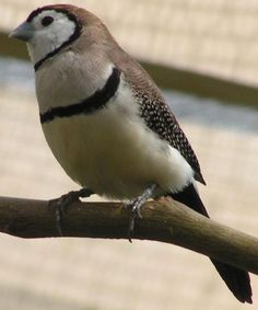 Tiny Australian bird, the Bicheno Finch. Also known as Owl Finch, Clown Finch, Double-Bar Finch...