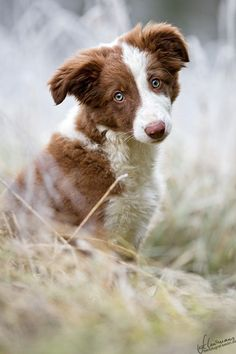 Beautiful colors and love the eyes on this border collie puppy!  500px / Photo Winterzauber... by Sandra Schürmans