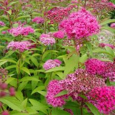 Spiraea x Anthony Waterer-pink-may is an attractive dwarf version of the more widely used white Spiraea.This deciduous, dwarf shrub has showy clusters of flat-t Home Garden Plants, Home And Garden, Dwarf Shrubs, Planting Seeds, May, Outdoor Gardens, Outdoor Living, Pink, Bulbs