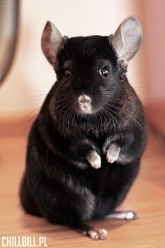 Billy! Chinchilla Extra Dark Ebony from Poland! ChillBill.pl :)