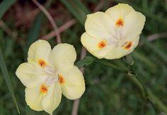A moreia resiste ao frio e ao calor, mas prefere ser cultivada em clima moderado. Já as regas devem ser periódicas. Apresenta floração branca, com detalhes amarelos, e forma tufos densos. Por isso, as mudas devem ser plantadas com certa distância