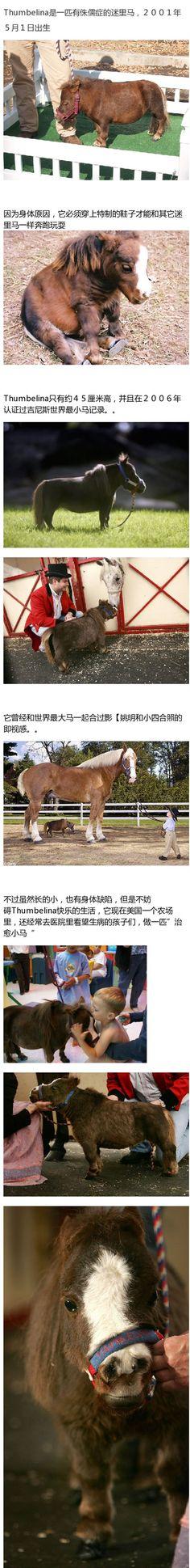 世界最小马 Thumbelina,它还是一匹治愈马呢 - 來自【@英国报姐/微博精選-chinatimes 中時電子報】