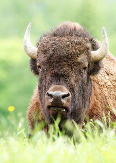 Bison by Jim Cumming, via Flickr