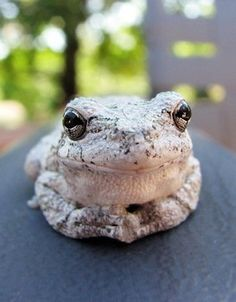 Gray Tree Frog. Just chilling!                                                                                                                                                                                 More