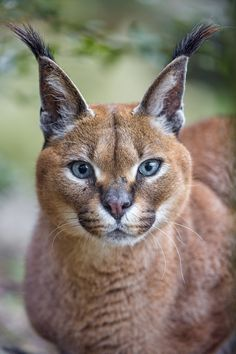 https://flic.kr/p/toebgM | Pretty caracal! | This pretty caracal was also looking at me!