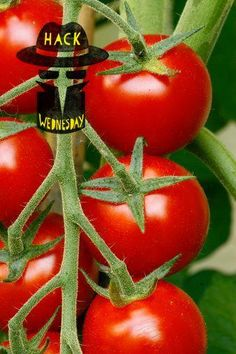 Tomato Plant Pruning Tricks, tips and hacks for planting and growing amazing tomatoes. I personally think I'll stay away from the potato tomato trick. I don't want to chance potato mosaic virus on my tomatoes. Tips For Growing Tomatoes, Growing Tomato Plants, Growing Tomatoes In Containers, Growing Veggies, How To Grow Tomatoes, Veg Garden, Fruit Garden, Edible Garden, Lawn And Garden