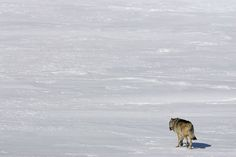 The Urge, photo by isleroyalewolf.org Last weekend the Freep reported that the delicate biosphere that characterized Isle Royale National Park is about to fall apart. The wolf count is down from ni...