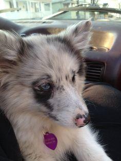Poshie puppy