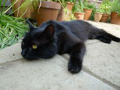 Black cat S2 What a beautiful cat. I love black cats. My favorite color too. Incensewoman