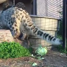 snow leopard attacks it's natural enemy. The snow leopard attacks it's natural enemy., The snow leopard attacks it's natural enemy. Cute Funny Animals, Cute Baby Animals, Animals And Pets, Cute Cats, Funny Cats, Big Cats, Crazy Cats, Cats And Kittens, Funny Cat Videos