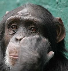 we share 98% of the same DNA with Chimps.