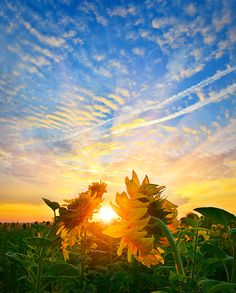 """""""Sunfollowers"""" #sunflowers at dawn in summer countryside"""