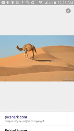 , camel on the dune