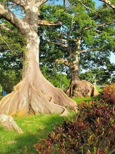 Beautiful Ceiba Trees,  These are Located in Quebradillas, Puerto Rico. ...Somos Puerto Rico!!!