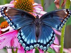 Related image Butterflies Flying, Beautiful Butterflies, Beautiful Birds, Butterfly Metamorphosis, Moth Caterpillar, Butterfly Images, Interesting Animals, Art Of Living, Beautiful Creatures