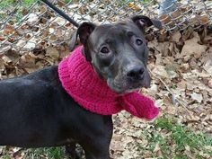 GONE --- Manhattan Center   MELODY - A1019610  FEMALE, BLACK, AM PIT BULL TER MIX, 2 yrs STRAY - STRAY WAIT, NO HOLD Reason STRAY  Intake condition EXAM REQ Intake Date 11/03/2014, From NY 10458, DueOut Date 11/06/2014,  https://www.facebook.com/photo.php?fbid=901852089827671