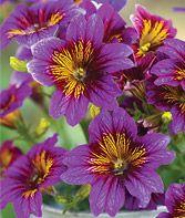 Salpiglossis, Royale Purple Bicolor - Salpiglosis at Burpee.com