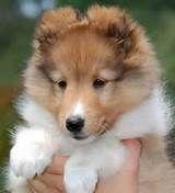 Shetland Sheepdog ( Sheltie) Info,