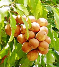 Pitomba (Talisia esculenta) is a medium-sized tree native to the Amazon Basin producing fruits that are round to ellipsoid in shape, 1.5-4cm diameter with a taste described as combination of apricot and lemon