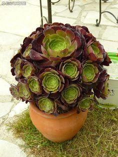 - Aeonium arboreum Velour -