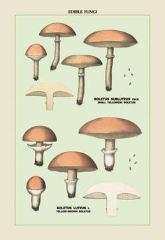 Edible fungi: boletus luteus and subluteus 20x30 poster