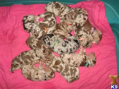 :D Wish I could've seen my Houla as a tiny lil pup! Animals And Pets, Baby Animals, Cute Animals, Cute Puppies, Cute Dogs, Catahoula Cur, Newborn Puppies, Leopard Dog, Hound Dog