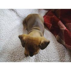 Female pure breed dachshund puppies for sale Dachshund Puppies For Sale, Sausage Dogs, Weiner Dogs, Animal Pics, Pure Products, Female, Heart, Cute, Pictures