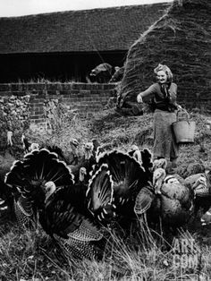 Mom and Daddy raised 200+ free range turkeys in the early days of their marriage.