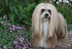 #Lhasa #Apso: Bred as indoor watchdogs for hundreds of years, Lhasas can be suspicious of strangers, so early socialization is critical. They thrive living with adults or families with older children, and enjoy regular walks. A long-coated breed, they also require frequent grooming.