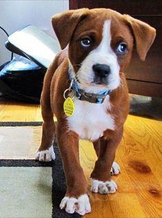Boxer puppy:)