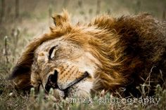 """sleeping lions lay photograph SIZE: 8.5"""" x 11"""" etsy shop smrrkphotography"""