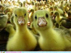 look at all dem ducks!