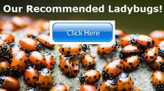 Ladybugs! Natural Pest Control in the garden organic growing
